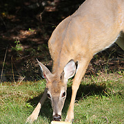 White-tailed Deer eating bread, Rifle Camp Park; Garret Mountain, New Jersey