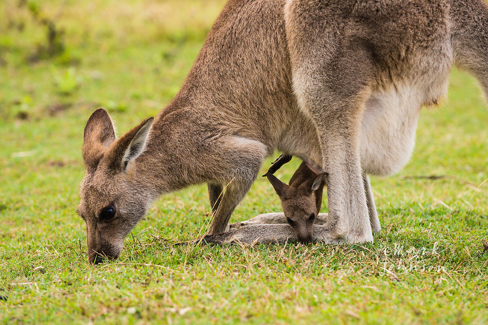 Eastern Gray Kangaroo female with joey in pouch grazing on grass, Look at me Now Headland, Emerald Beach, Coffs Harbor, NSW, Australia