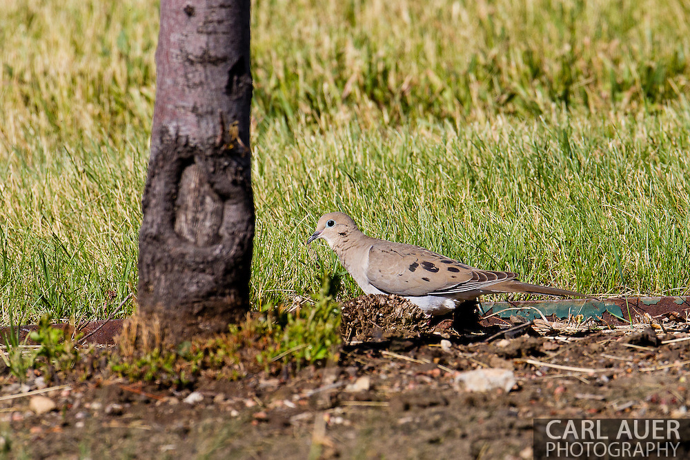 A Mourning Dove near the Majestic View Nature Center