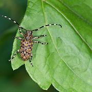 Lamiinae long horned beetle of the tribe Mesosini.