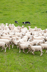 New Zealand, North Island, near Wellington, sheep dogs herd sheep near The Wool Shed in Wairarapa. Photo copyright Lee Foster. Photo # newzealand125823