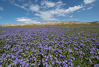 Purple Great Valley Phacelia below the Temblor Range in the Carrizo Plains National Monument in California during a super wildflower bloom on April 4, 2019.