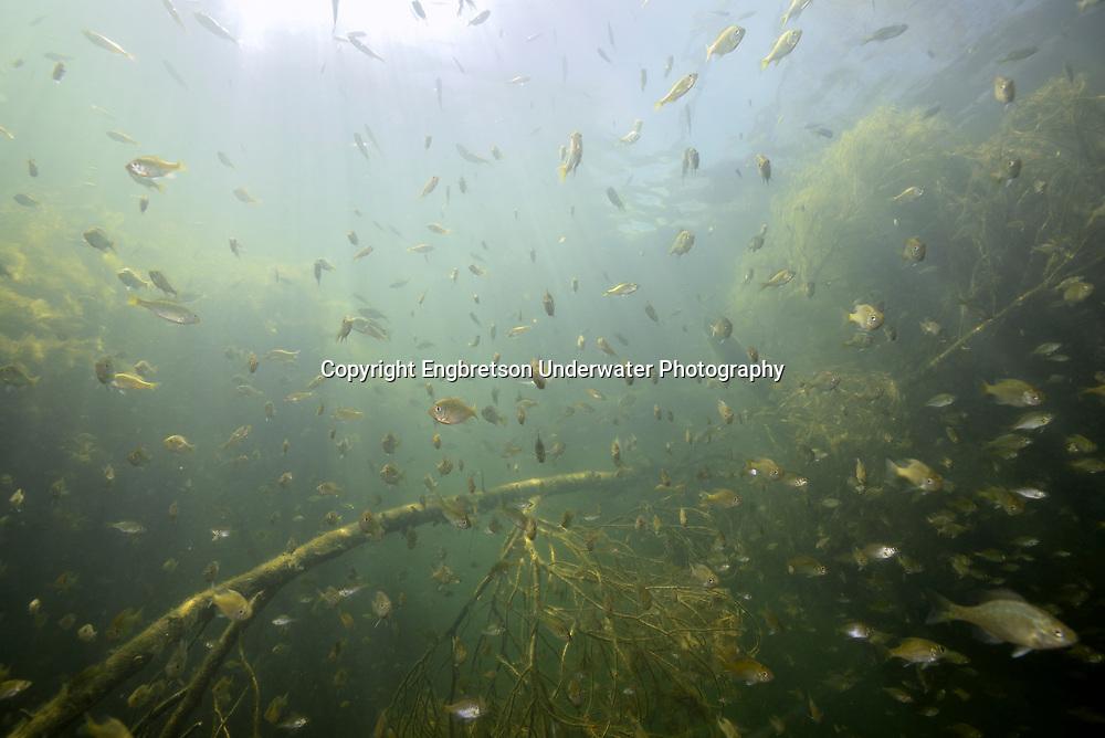 Bluegill (school under fallen tree)<br /> <br /> Engbretson Underwater Photography