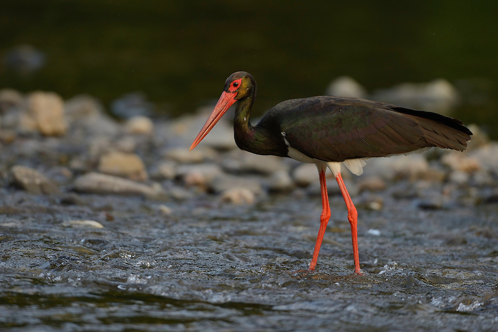 Black stork, Ciconia nigra, Arda river valley, Madzharovo, Eastern Rhodope mountains, Bulgaria