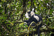 Mantelaffe (Colobus guereza) auf einem Baum, Nyungwe Forest National Park, Ruanda<br /> <br /> Black and white colobus monkey (Colobus guereza) on a tree, Nyungwe Forest National Park, Rwanda
