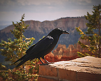 Raven at Bryce Canyon National Park. Image taken with a Nikon D200 camera and 18-70 mm kit lens.