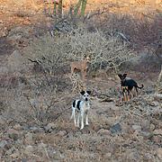 Stray dogs near Bahia Balandra. La Paz, BCS.