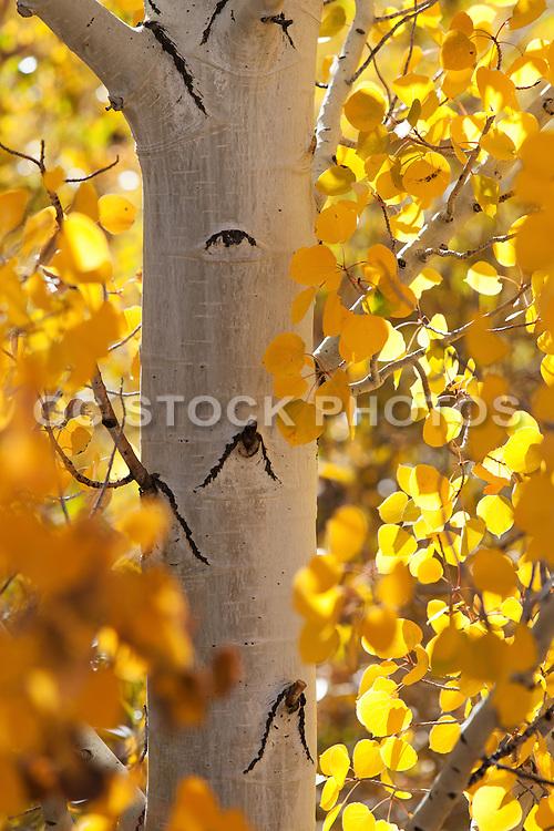 Fall Aspen Trees in California at the High Sierras