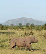 White rhinoceros AKA Square-lipped rhinoceros (Ceratotherium simum), adult female, Kruger National Park, South Africa