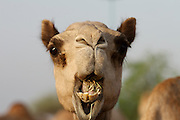 Early morning is the busiest time at the Camel Market. Chewing camel.