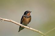 Young Barn Swallow (Hirundo rustica) Israel Spring June 2007