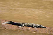 Nile crocodille (Crocodylus niloticus) resting on a sand bank in Ewaso Nyasi river in Samburu National Reserve, Kenya