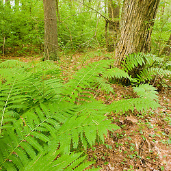Ferns in a forest adjacent to the Taunton River in Bridgewater, Massachusetts.  Summer.