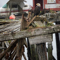 Bald eagle on a dilapidated dock in the tiny village of Alert Bay, Cormorant Island, British Columbia, Canada.