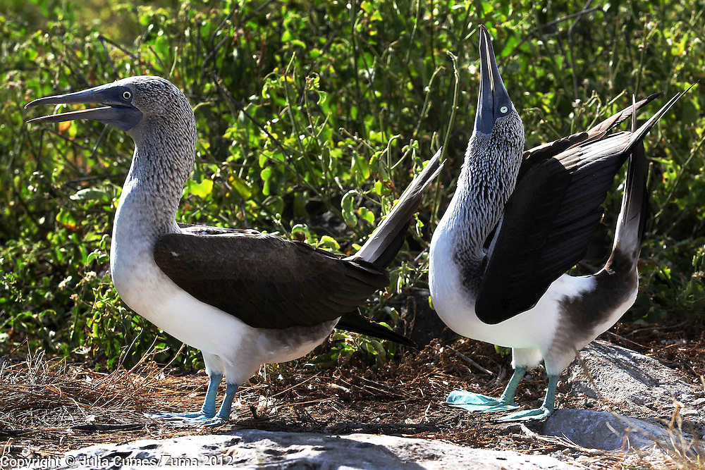 A male blue-footed booby tries to catch the attention of his female partner by performing a courtship ritual on Espanola Island in the Galaogos. Apparently, the name ?booby? comes from the Spanish word ?bobo? which means ?clown? or ?fool? or 'stupid?. They earned this name because of their clumsy movements on land. Famous for their mating dance, the male booby will spread his wings and lift his blue feet high off the ground to impress his female partner with whom he mates for life..