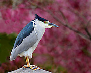 A night heron at the Japanese Gardens on top of the pagoda in late April of 2007.