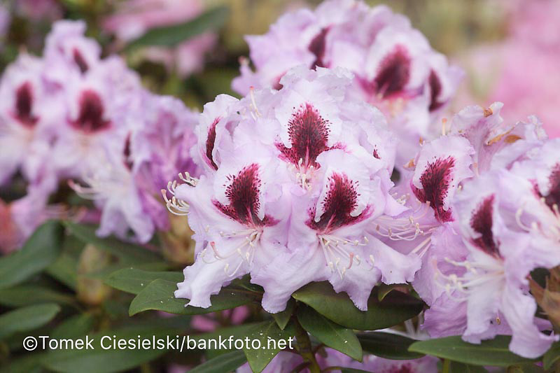 Rhododendron `Alexis`