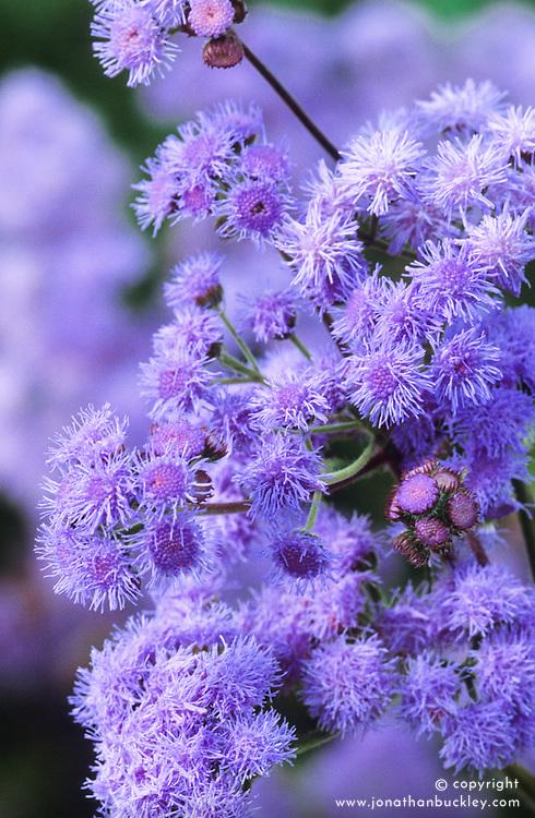 Ageratum 'Florist Blue'