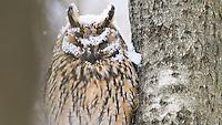 Portrett av hornugle, Asio otus, på dagplassen i lett snøvær, Rogaland.