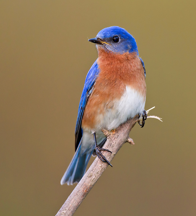 Male Eastern Bluebird, Sialia sialis