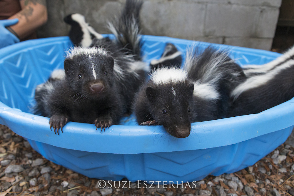 Striped skunk <br /> Mephitis mephitis<br /> Orphaned juvenile skunks (separated from mother by pest removal service)<br /> WildCare, San Rafael, California