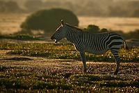 Cape Mountain Zebra Stallion at dawn, De Hoop Nature Reserve, Western Cape, South Africa