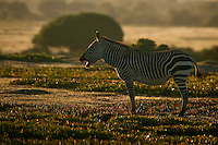 Cape Mountain Zebra Stallion at dawn, De Hoop Nature Reserve, Western Cape, South Africa