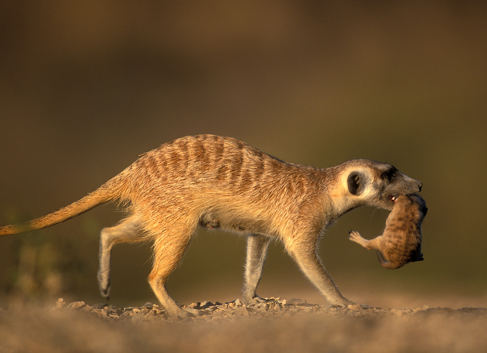 Africa, Namibia, Keetmanshoop, Meerkat (Suricate suricatta) carries infant in her mouth in Namib Desert at sunset