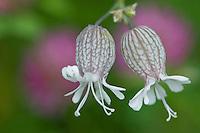 Silene vulgaris ssp. glareosa; Bladder campion, Malbun, Liechtenstein