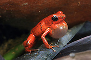 Male strawberry poison dart frog (Oophaga pumilio) calling in lowland rainforest near Puerto Viejo, south Caribbean coast, Costa Rica.