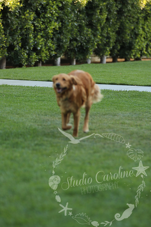 Isn't Finn the cutest Golden Retriever? The sweet dog is having fun in Newport Beach, Ca. Cute dog in a flower field walking & playing with his owner. Photography by Caroline Morey & Moon Morey of StudioCarolinePhoto.com/<br />