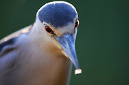 A motionless black-crowned night-heron (natthäger, Nycticorax nycticorax) with its cold creepy stare. In Kiskunsagi National Park. Near Pusztaszer, Hungary. <br /> May 2015.