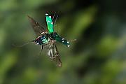 A six-spotted tiger beetle ( Cicindela sexguttata) photographed with a high-speed camera. East Texas.