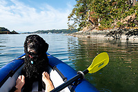 Marley the cocker spaniel plays Captain of the Kayak, on a paddle in View Royal in Victoria, BC.