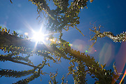 Ocotillo and blue sky including the sun and lens flare in the Anza-Borrego Desert of southern California, USA