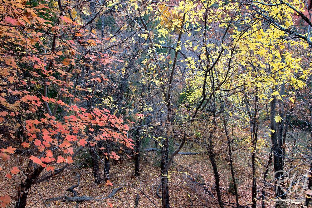 Fall Foliage, Zion National Park, Utah