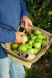 Harvesting apples into a wooden trug ready to store