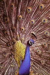 Peacock displaying feathers and plumage, England, UK.