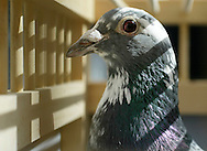 One of Dominick Guardino's racing pidgeons waits to be released on April 8, 2008. The pidgeons can return home after being released hundreds of miles away.