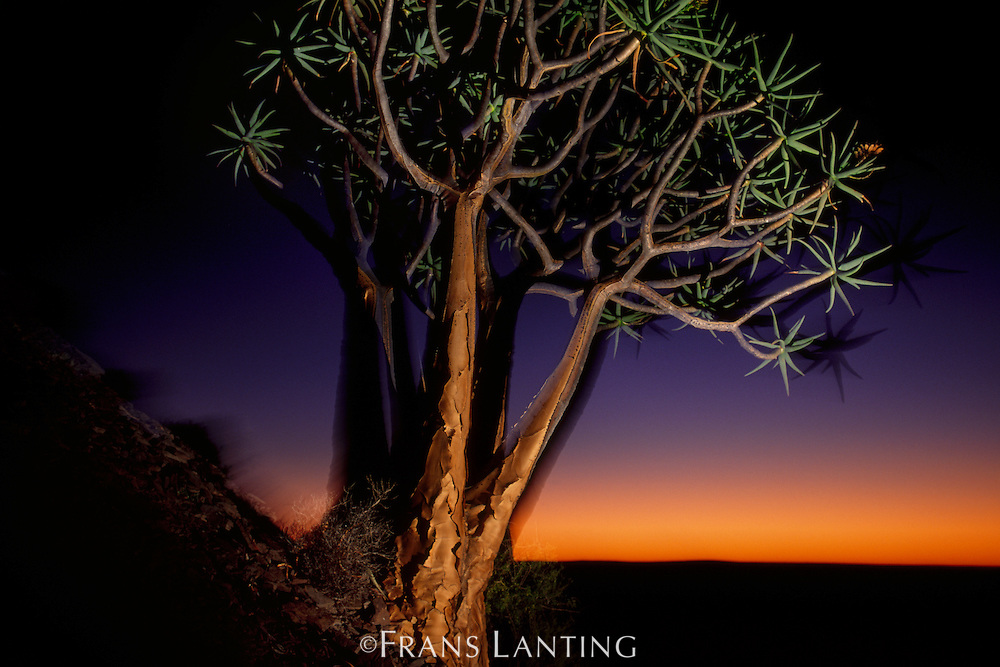 Quiver trees at dusk, Aloe dichotoma, Niewoudtville, South Africa