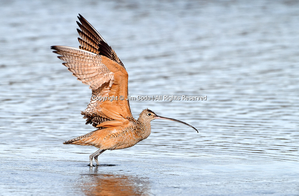 A long-billed curlew takes flight at Elkhorn Slough, Californiia.