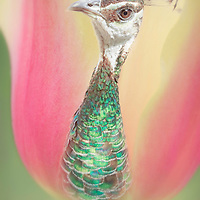 Macro view of giant pink and yellow tulip with an unusual center, a blue-green peahen.