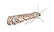 Crimson Speckled - Utetheisa pulchella