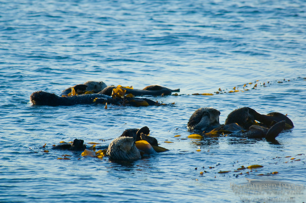 Sea Otters in Kelp in Morro Bay, California