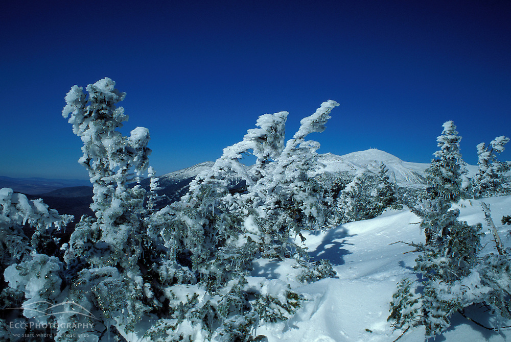 Rime ice coats spruce trees in the White Mtns- Mt. Washington in distance.  Mt. Clinton, NH