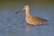 Long-billed Dowitcher - Limnodromus scolopaceusAdult in transition to breeding<br /> Galveston Co., TX<br /> April 2010