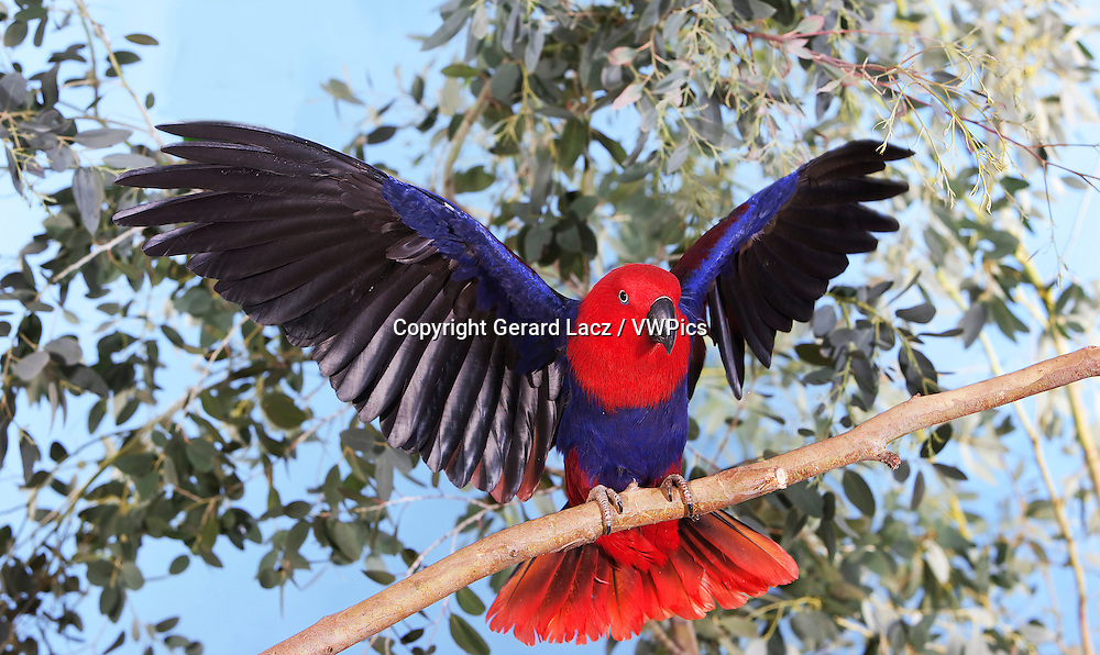 ECLECTUS PARROT eclectus roratus, FEMALE ON BRANCH WITH OPENED WINGS