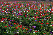 A field of cultivated Anemone flowers