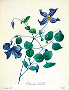 "19th-century hand painted Engraving illustration of a Clematis viticella, the Italian leather flower, purple clematis, or ""Virgin's bower"", is a species of flowering plant in the buttercup family; it is native to Europe. By Pierre-Joseph Redoute. Published in Choix Des Plus Belles Fleurs, Paris (1827). by Redouté, Pierre Joseph, 1759-1840.; Chapuis, Jean Baptiste.; Ernest Panckoucke.; Langois, Dr.; Bessin, R.; Victor, fl. ca. 1820-1850."