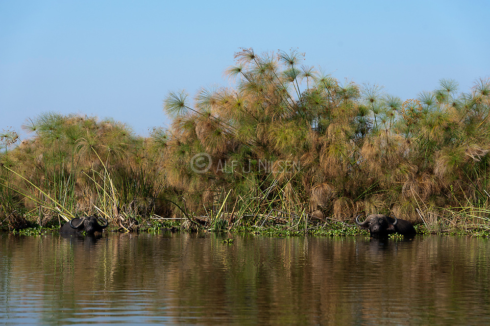 African buffalos among papyrus in Lake Naivasha, Kenya.